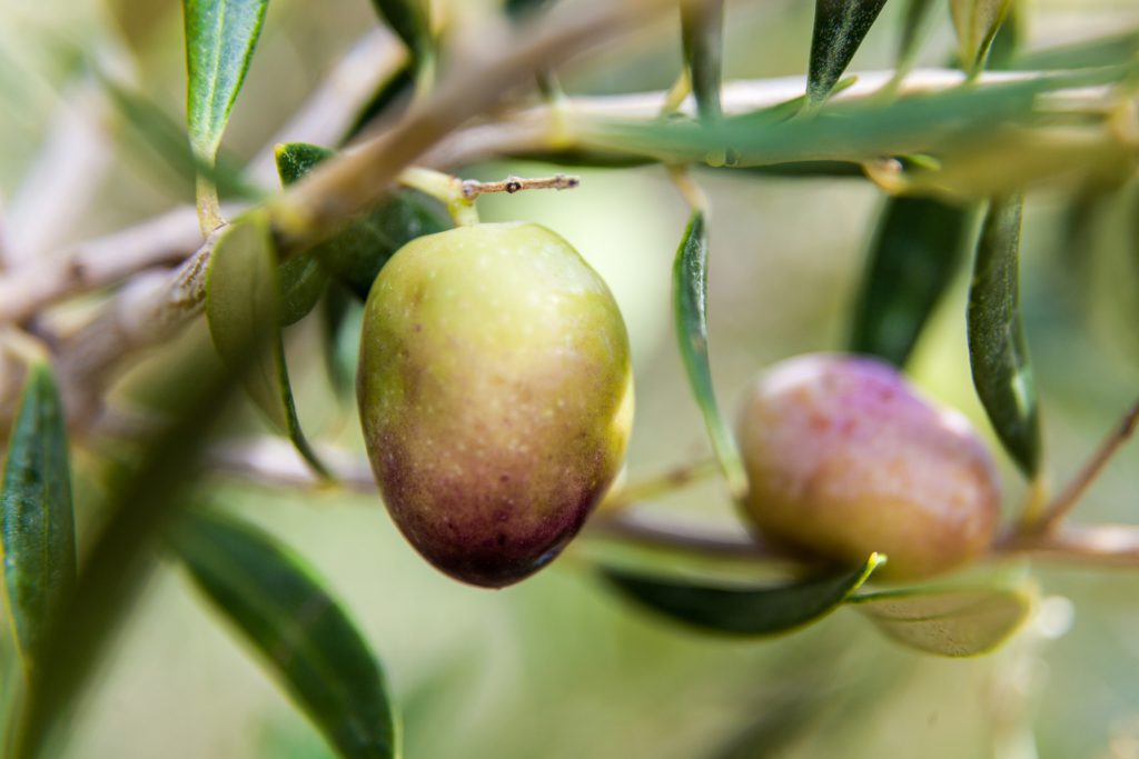 oliviers-and-co-huile-olive-copryright_maeva_destombes_MG_5508