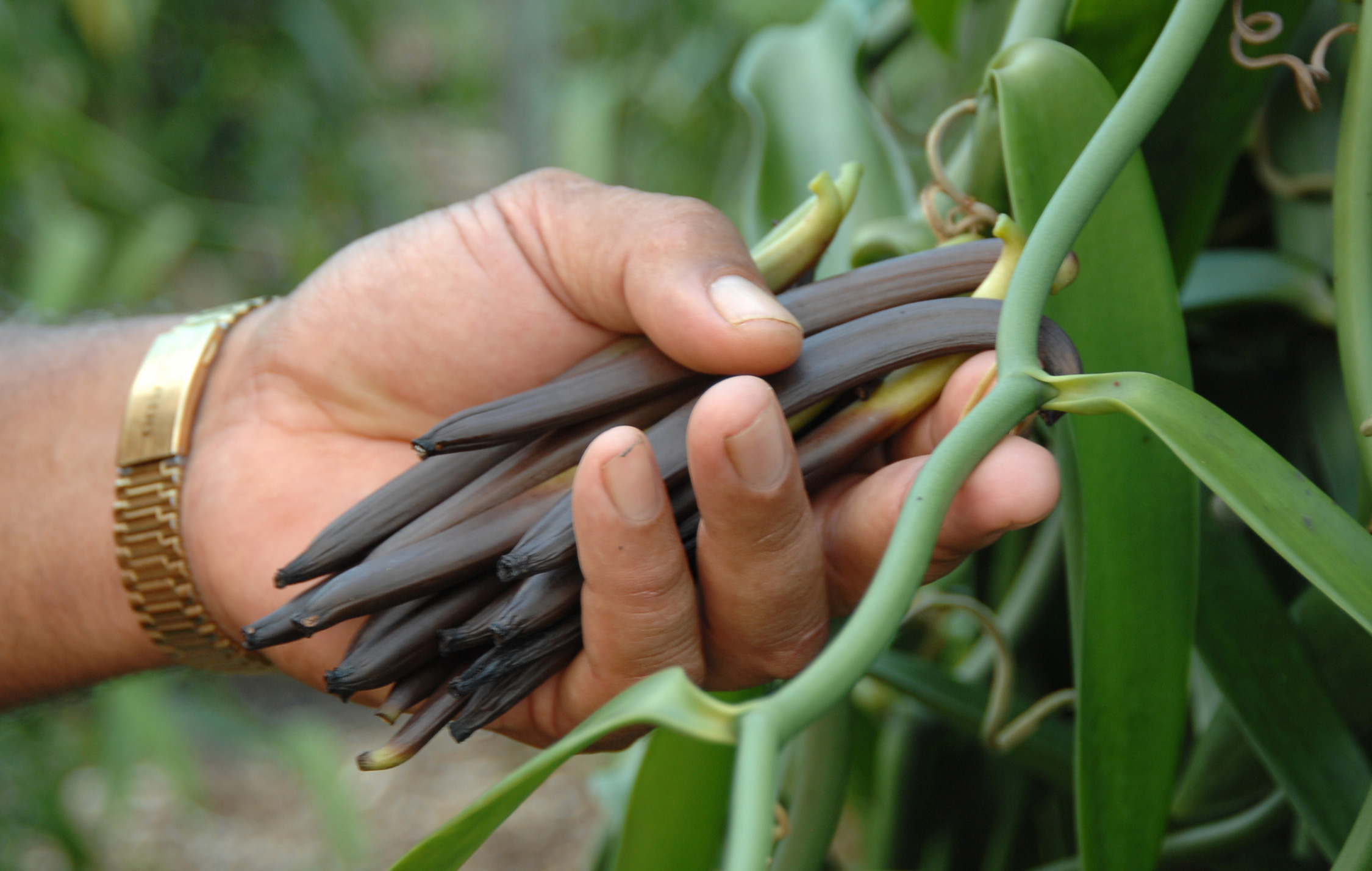 les recettes de maeva la vanille de tahiti