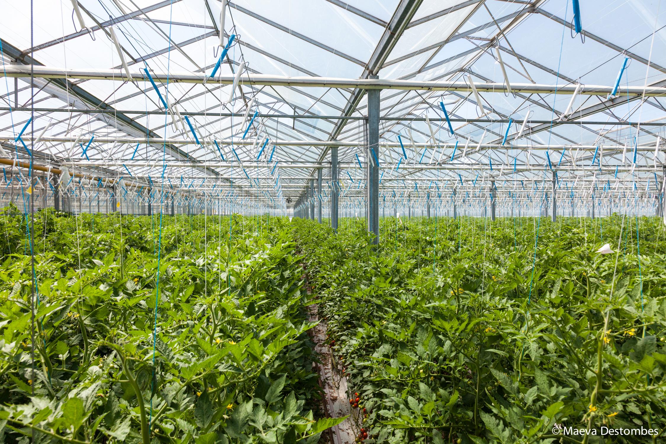 Que Planter En Octobre Sous Serre tomates de france : découverte de l'exploitation de frédéric